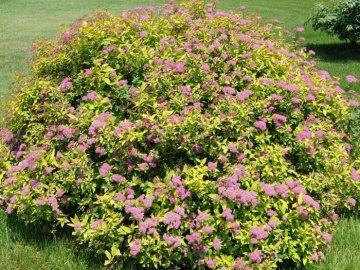 Условия выращивания спиреи Бумальда: почва, температура, освещение