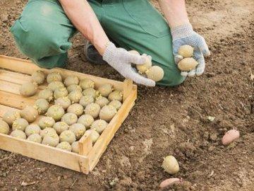 Способы посадки картофеля