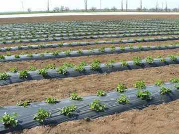 Выращивание картофеля под пленкой