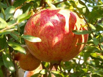 Условия выращивания и уход за деревом