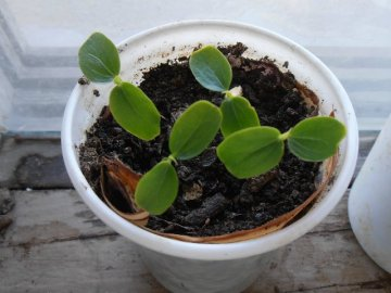 Размножение: семенами и черенками