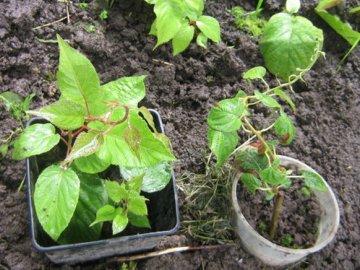 Посадка и начало выращивания