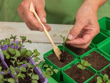 Способ выращивания капустной рассады