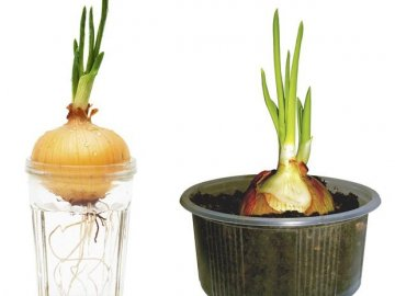 Правила выращивания лука дома