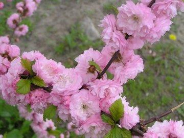 Садовые сорта миндального дерева