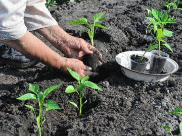 Когда и как пересаживать рассаду в огород