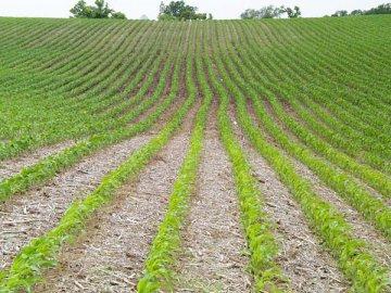 Основные правила посадки кукурузы на силос