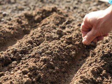 Выращивание гибрида семенами