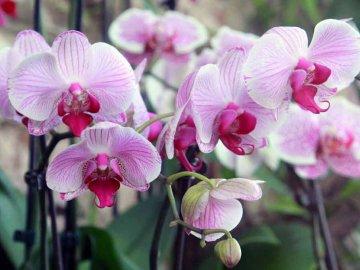 Орхидеи: виды, сорта