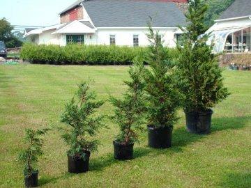 Выращивание и уход за деревом