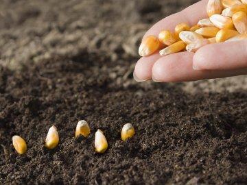 Сроки и правила посадки кукурузы