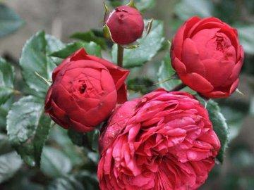 Использование пионовидной розы