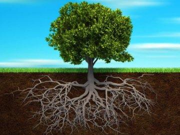 Особенности строения корневой системы липы