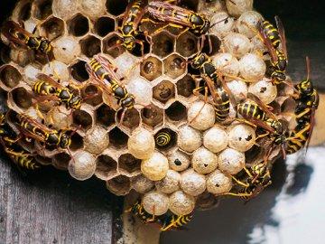 Осиное гнездо под крышей дома -что делать?