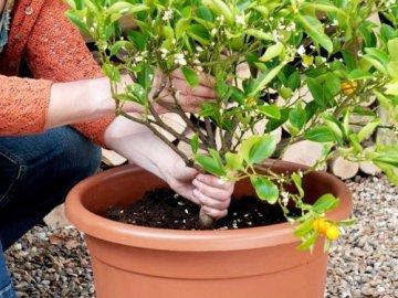 Особенности выращивания цитрусовых дома