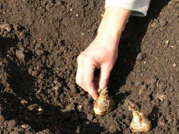 Посадка луковиц гладиолусов в открытый грунт
