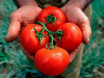 Подбор лучших сортов томатов для выращивания тепличным и открытым методом