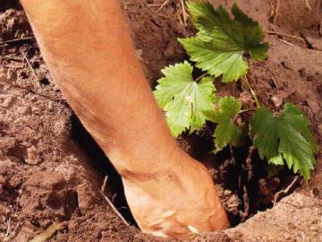 Особенности посадки и выращивания