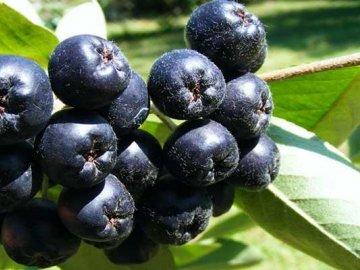 Советы по выращиванию аронии в саду