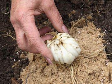 Посадка луковиц лилий зависит от сорта