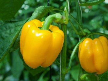 Секреты ухода за перцем и сбор урожая