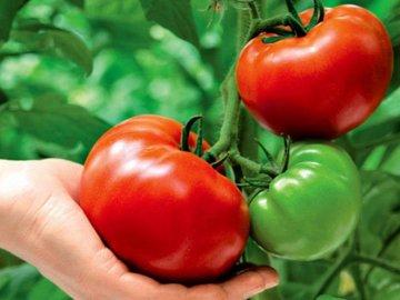 Развитие огурцов и помидор в период вегетации