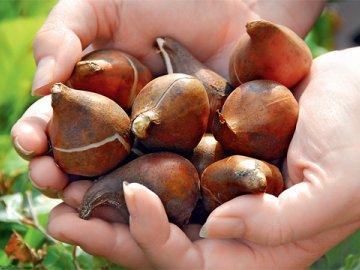 Выкапывание и хранение луковиц