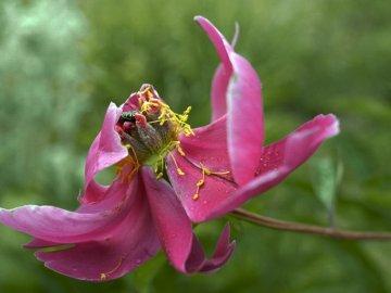 Как ухаживать за пионом до и после цветения?