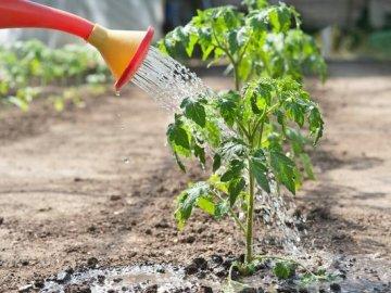 Рекомендации по уходу за томатами