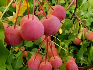 Яблоня Китайка, ее описание