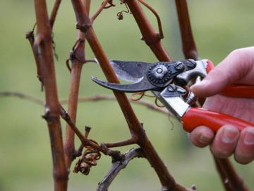 Советы по уходу за виноградом