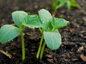 Уход за рассадой и взрослым растением