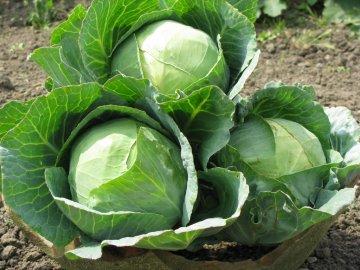 Рекомендации по уходу за капустой белокочанной