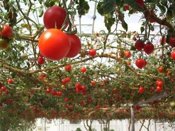 Характеристика помидорного дерева спрут f1