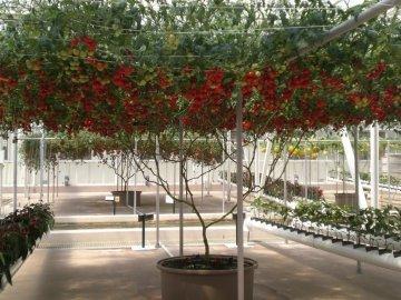 Выращивание сорта f1