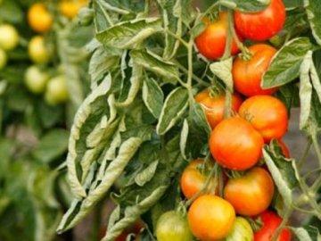 скручиваются листья у томатов