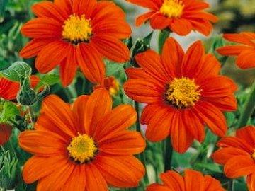 цветок Титония