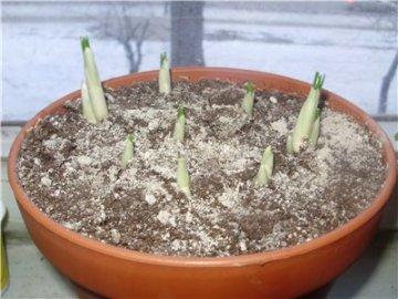 выращивание крокусов в домашних условиях