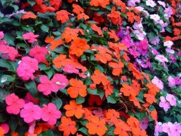 Выращивание бальзамина садового