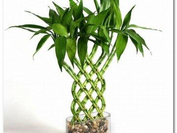 Как растить бамбук