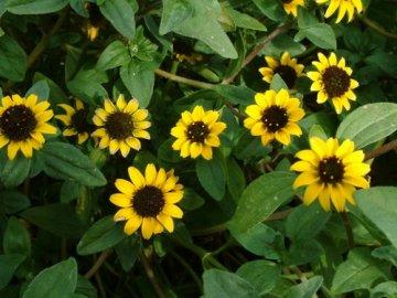 Выращивание санвиталии