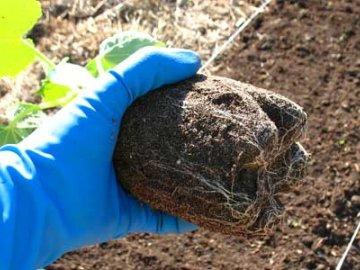 Когда сеять огурцы в грунт