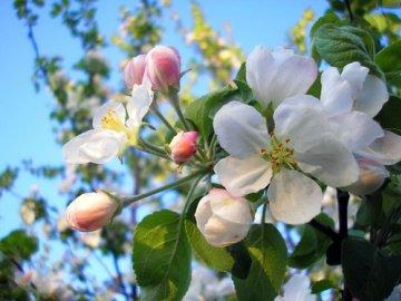 Строение цветка яблони