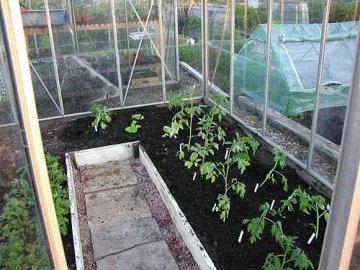высадка помидоров в теплицу
