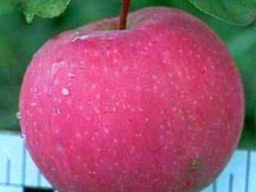 яблоня услада фото