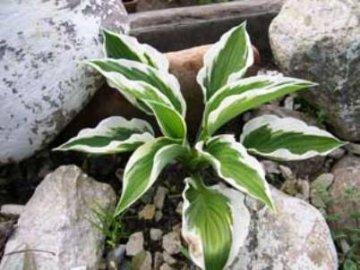 Растение Хоста