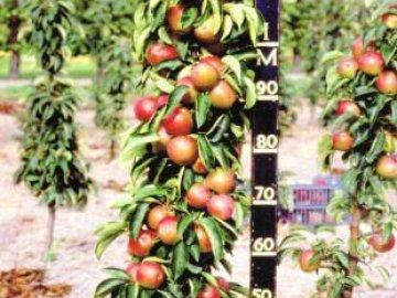 посадка и уход за колоновидной яблонью
