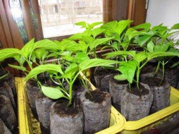 агротехника перцев