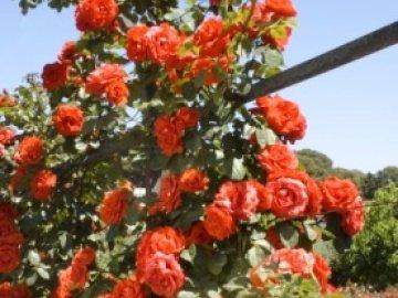 роза чин-чин