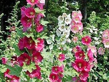 шток роза на фото